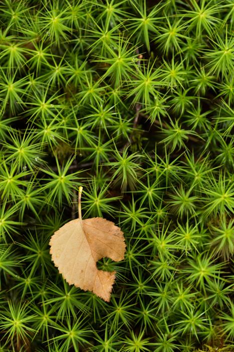 lone-leaf