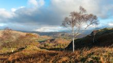 Silver Birch and Little Fell