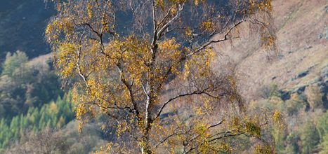 Sliver Birch over Borrowdale